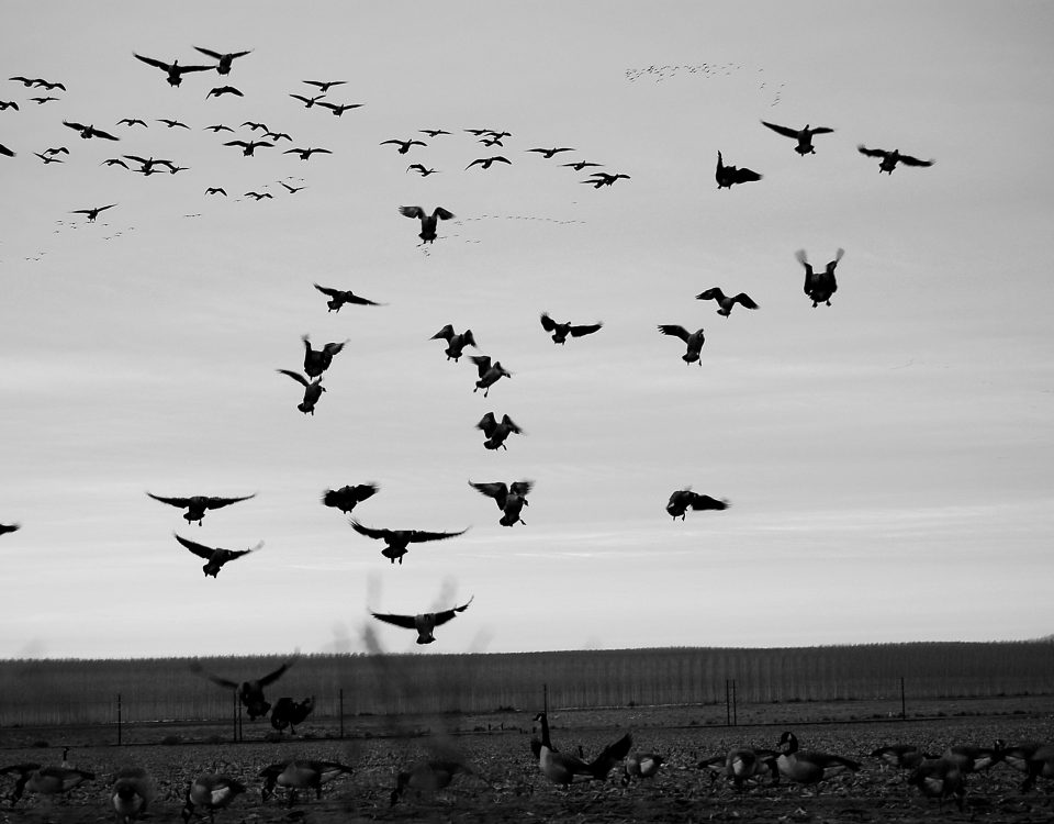 How do I learn to hunt geese Oregon Outdoor Council Eric Strand