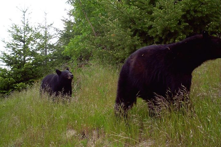 black bears in Oregon